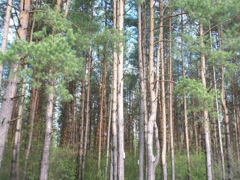 Лесной участок 18 соток, Сосновый бор. Ярославское ш. г.Сергиев Посад