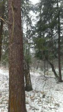12 соток с Лесными Деревьями.
