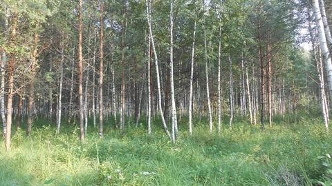 Продаётся земельный участок 32 сотки с лесными деревьями